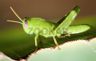 grünes Heuschrecke, Heupferd, Natur