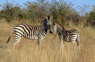 Zebra mit Jungtier im Morgenlicht im Mahango Nationalpark, Namibia