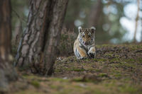 nur Unfug im Kopf... Königstiger *Panthera tigris*, Jungkatze spielt am Waldboden