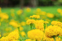 marigold in garden.