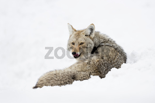 aufmerksam... Kojote *Canis latrans*