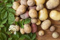 Kartoffeln mit frischen grünen Blättern auf Holz
