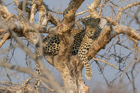 A leopard in the Kruger National Park South Africa