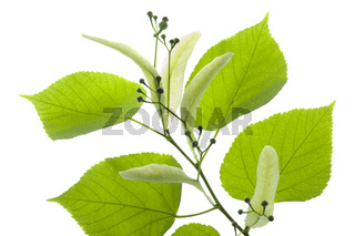 single twig with leaves of linden tree and blooming pollen isolated over white background