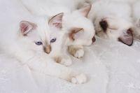 HEILIGE BIRMA KATZE, BIRMAKATZE, SACRED CAT OF BIRMA, BIRMAN CAT,KITTEN, LITTER,