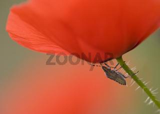 Beerenwanze und Klatschmohn, Dolycoris baccarum,  Sloe shield bug an poppy