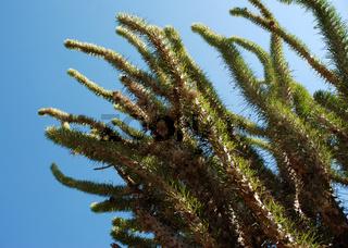 Didiereaceae