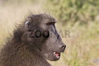 Steppenpavian, Pavian (Papio cynocephalus), Namibia, Afrilka, Yellow Baboon, Africa, Portrait