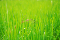 Rice with green nature.