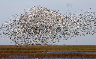 Swarm of Snow Geese