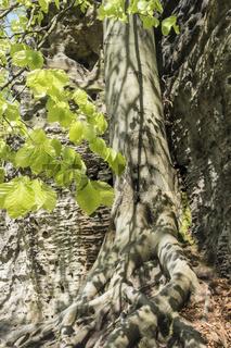 Buche mit Sandsteinfelsen, Boehmische Schweiz