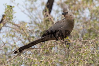 A white-bellied go-away bird in the Etosha National Park Namibia
