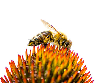 Bee collecting nectar at a conflower blossom