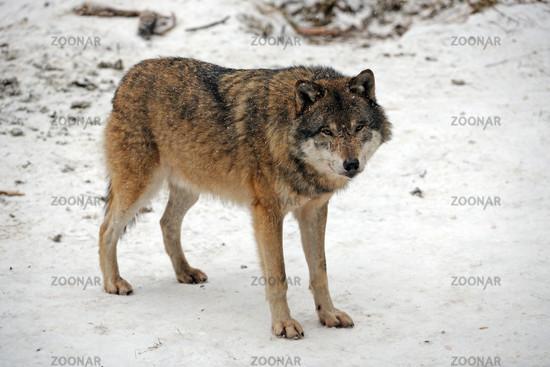 europaeischer Wolf, Canis Lupus, im Schneetreiben