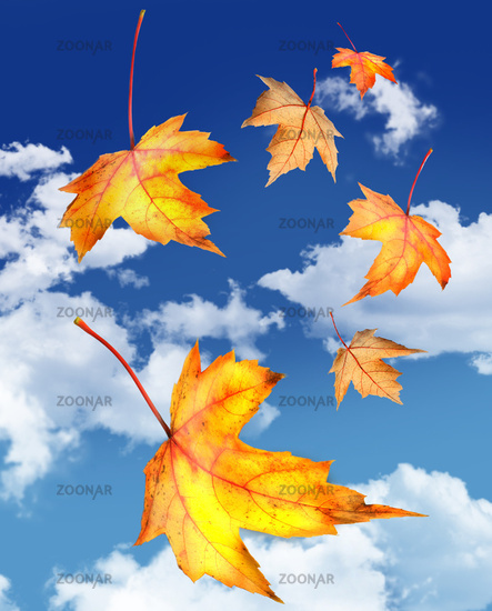 Maple leaves falling against a blue sky