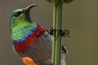 Miombonektarvogel, Blaubandnektarvogel (Cinnyris chalybeus),