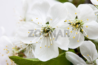 spring flowers of sakura on white background