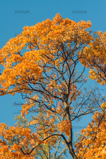 Autumn orange vivid mapple tree leaves with the blue sky background