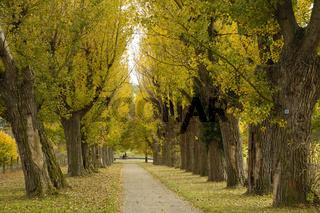 Baumallee Schwarzpappeln, Trees black poplars