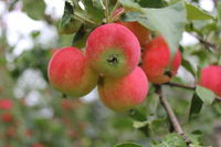 Red ripe apples on branch 20514