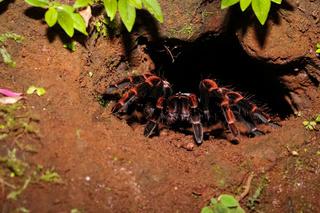 Rotknie Vogelspinne vor ihrer Höhle im Dschungel