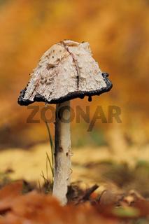 Schopf-Tintling (Coprinus comatus)