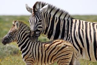 Steppenzebras, Etosha, Namibia, Plains Zebras, Equus quagga
