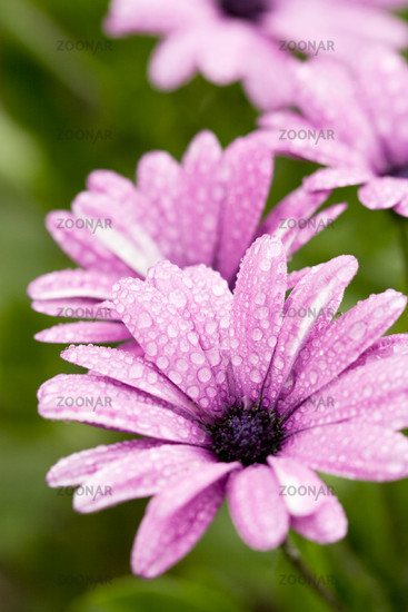 pink flower with water drops