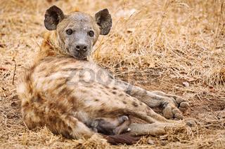 Tüpfelhyäne, Kruger Nationalpark, Südafrica; hyena, south africa, wildlife, Crocuta crocuta