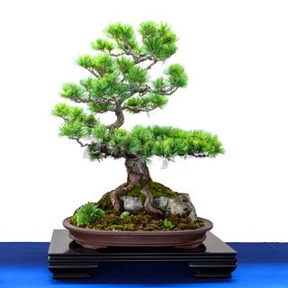 Kiefer (Pinus parviflora) Nadelbaum als Bonsai