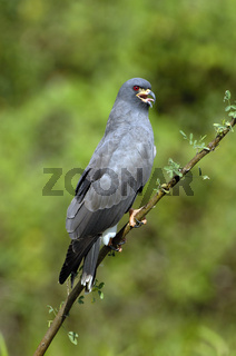 Schneckenweihe, Rostrhamus sociabilis, Pantanal, Brasilien