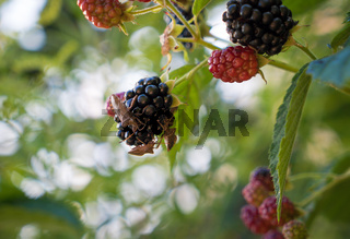 Hairy Shieldbug or Sloe Bug on blackberry