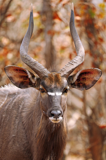 Männliches Nyala im Kruger Nationalpark Südafrika; Male Nyala, south africa, wildlife