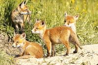 cute little red fox cubs in natural environment ( Vulpes )