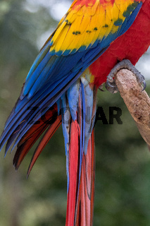 A scarlet macaw in Copan Honduras Central America