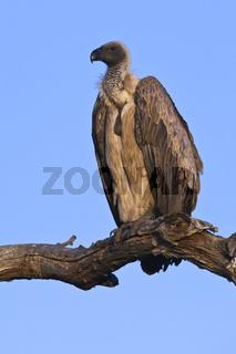 Weissrueckengeier, (Gyps africanus), arican White-backed Vulture