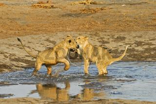 Loewen Jungtiere (Panthera leo) beim Spielen im Wasserloch, Savuti, Chobe National Park, Botswana, Afrika, Playing lionr cups in waterhole, Africa