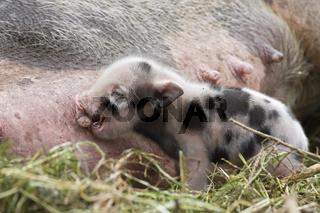 Haengebauchschwein (Sus scrofa f. domestica), Ferkel beim saeugen, pot-bellied pig