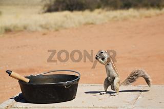 Erdhoernchen, Afrikanisches Borstenhoernchen (Xerus rutilus) an einem Potje oder Poetje (gusseiserner Topf), Kalahari, Kgalagadi Transfrontier Park, Suedafrika, Botswana, Afrika, African ground squirrel at a pot, South Africa