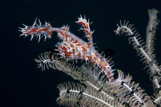 Harlekin-Geisterpfeifenfisch, Indonesien