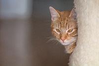 Eine rot getigerte Katze schaut aus einem Kratzbaum heraus