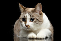 Cute White Cat, Blue eyes, Funny paws, Isolated Black Background