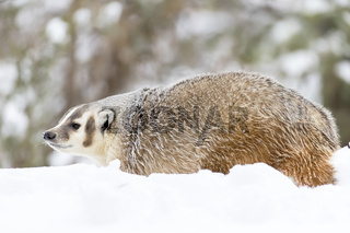 Badger In The Snow