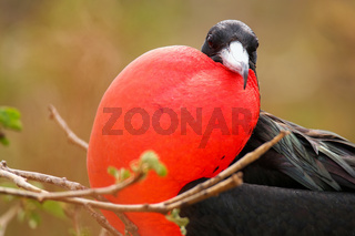 Male Magnificent Frigate bird with inflated gular sac on North Seymour Island, Galapagos National Park, Ecuador