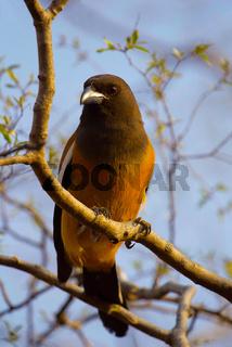 Rufous Treepie, Dendrocitta vagabunda, Ranthambhore Tiger Reserve