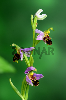Bienen-Ragwurz Bluete Nahansicht