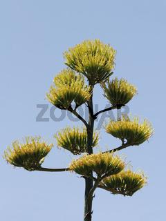 Agavenbluete, flowering agave.