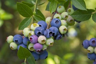 Zucht-Heidelbeere, blueberry