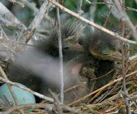 Tiny Heron Chicks