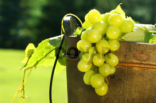 Grapes in wine bucket